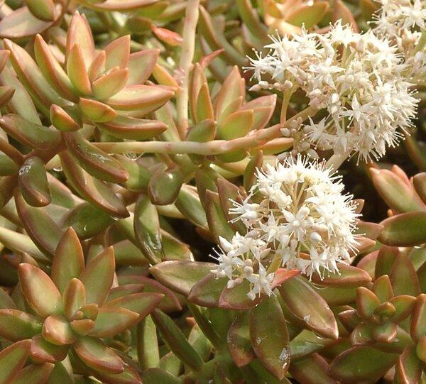 Sedum nussbaumerianum Bitter