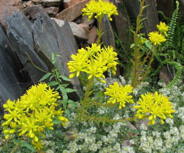 Petrosedum montanum (Songeon & E.P.Perrier) Grulich