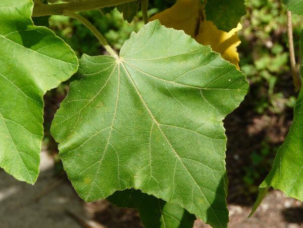 Phymosia umbellata (Cav.) Kearney