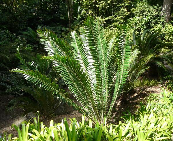 Encephalartos concinnus R.A. Dyer & I. Verd.
