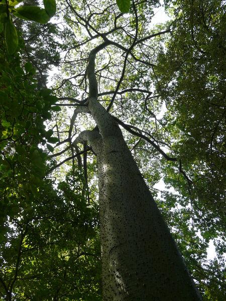 Ceiba speciosa (A.St.-Hil., A.Juss. & Cambess.) Ravenna