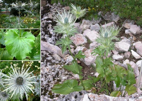 Eryngium alpinum L.