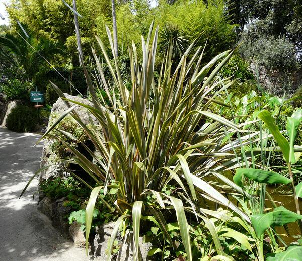 Phormium cookianum Le Jol. 'Maori Queen'