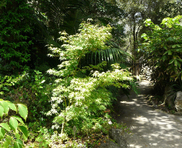 Acer palmatum Thunb. ex Murray 'Katsura'