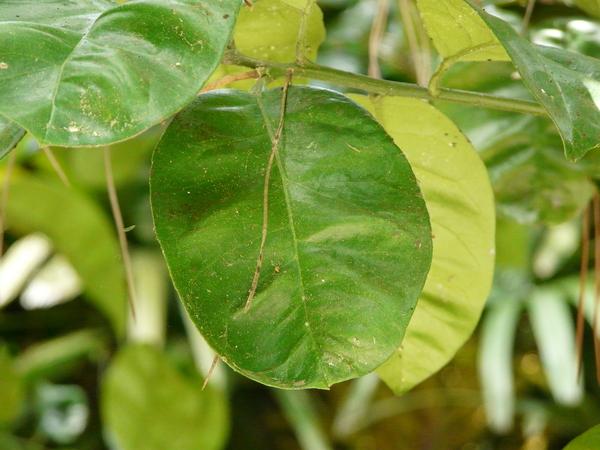 Citrus x paradisi MacFayden 'Red Blush'