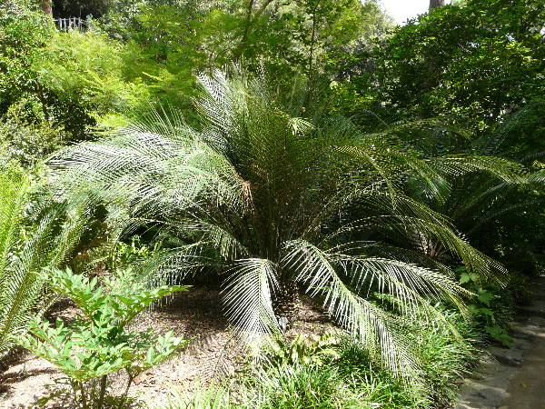 Macrozamia communis L.A.S. Johnson