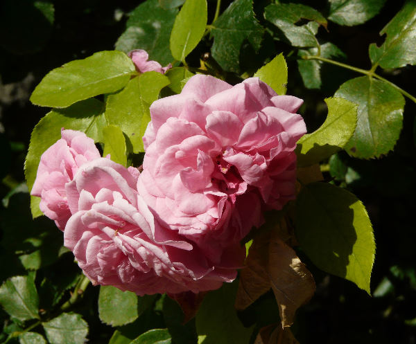 Rosa 'Les Quatre Saisons ®'
