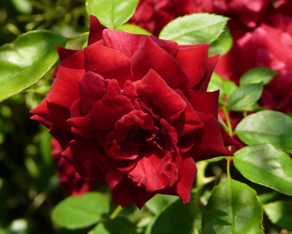 Rosa 'Deep Impression ®'