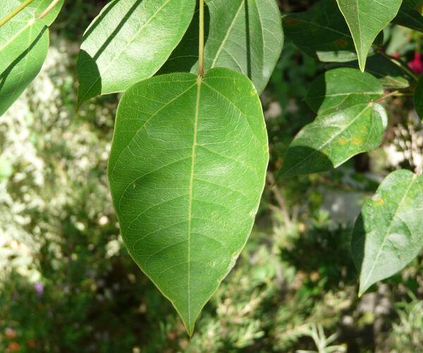 Jatropha integrifolia Jacq.