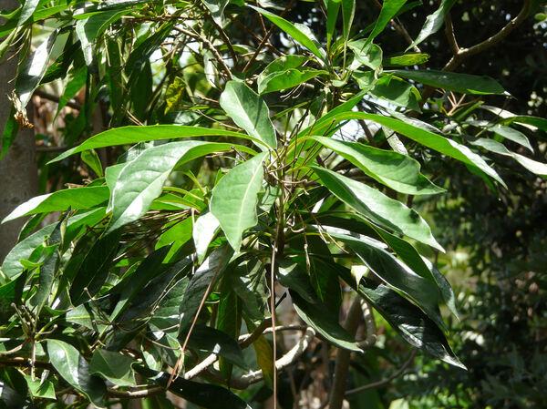 Hymenosporum flavum (Hook.) F. Muell.