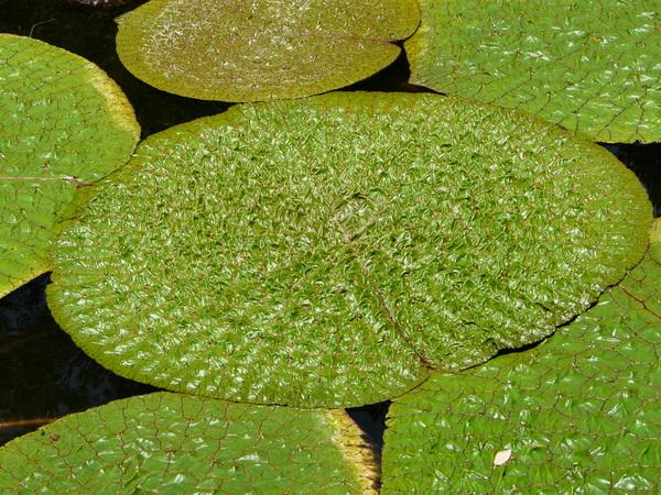 Euryale ferox Salisb.