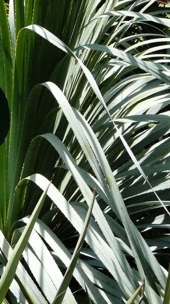 Dasylirion texanum Scheele 'Glaucum'
