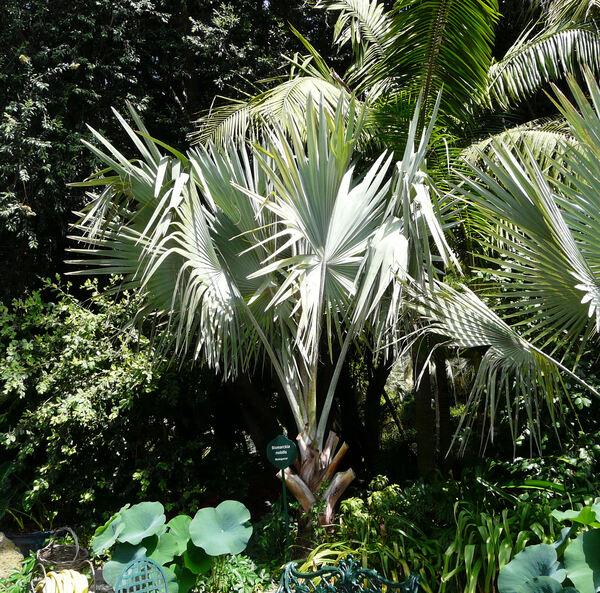 Bismarckia nobilis Hildebr. & H. Wendl.