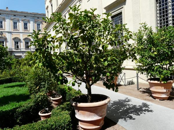 Citrus x limon (L.) Osbeck 'Florentina'
