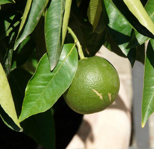 Citrus x sinensis (L.) Osbeck 'Valencia Late'