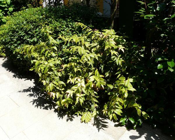 Leucothoe fontanesiana (Steud.) Sleumer