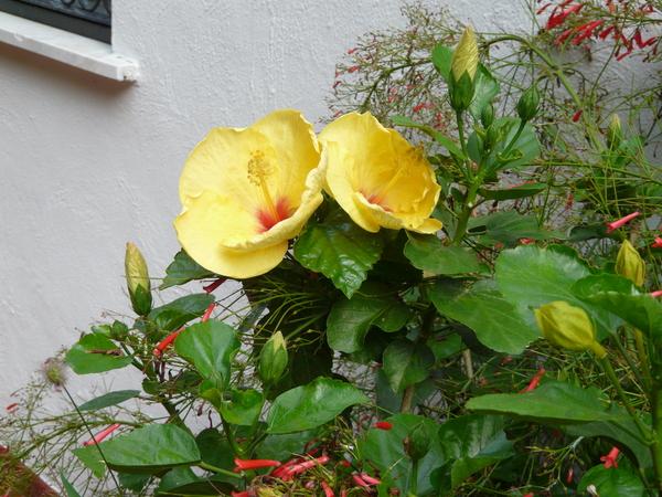 Hibiscus brackenridgei A. Gray