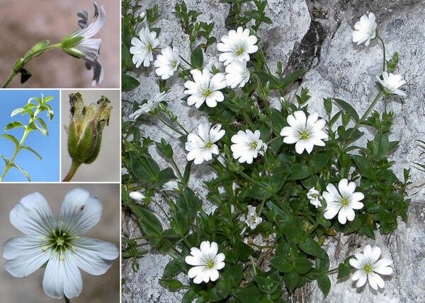 Cerastium carinthiacum Vest subsp. carinthiacum