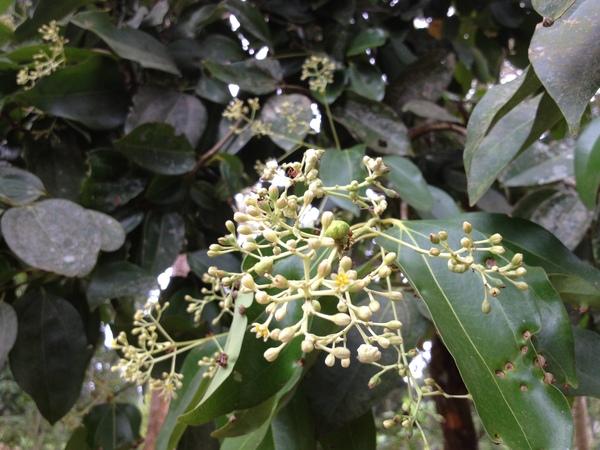 Cinnamomum verum J. Presl