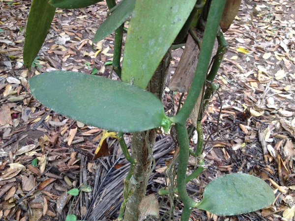 Vanilla planifolia Jacks. ex Andrews