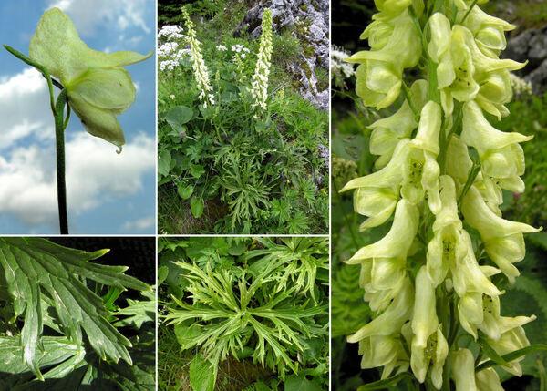 Aconitum lupicida Rchb.