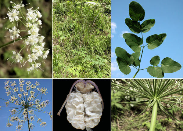 Laserpitium latifolium L.