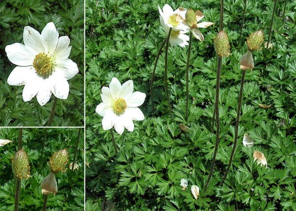 Anemonoides baldensis (L.) Galasso, Banfi & Soldano