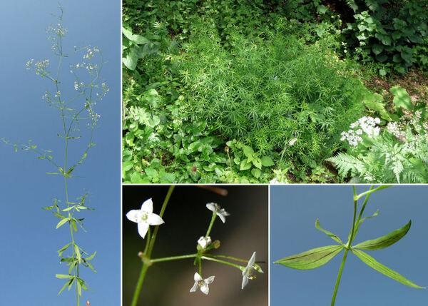 Galium laevigatum L.