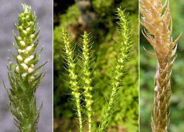 Selaginella selaginoides (L.) P.Beauv. ex Schrank & Mart.