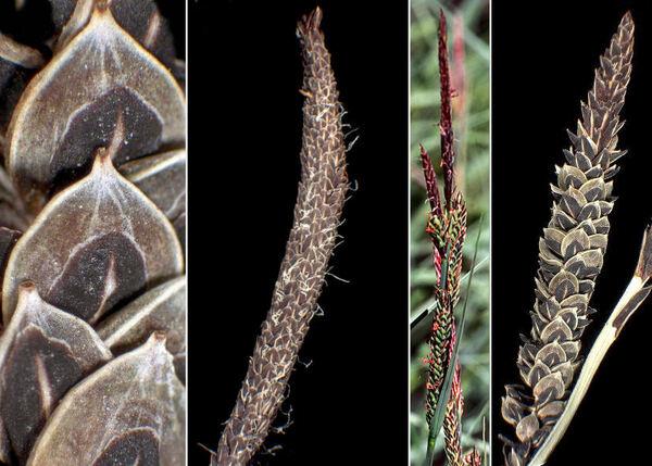 Carex nigra (L.) Reichard subsp. nigra