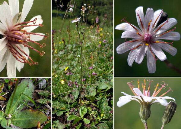 Crepis froelichiana DC. ex Froel. subsp. dinarica (Beck) Gutermann