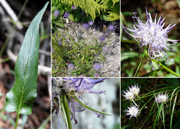 Phyteuma scheuchzeri All. subsp. columnae (Gaudin) Bech.