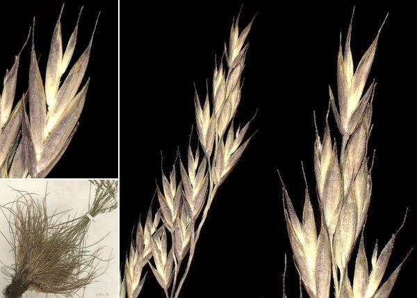 Festuca rubra L. subsp. commutata (Gaudin) Markgr.-Dann.