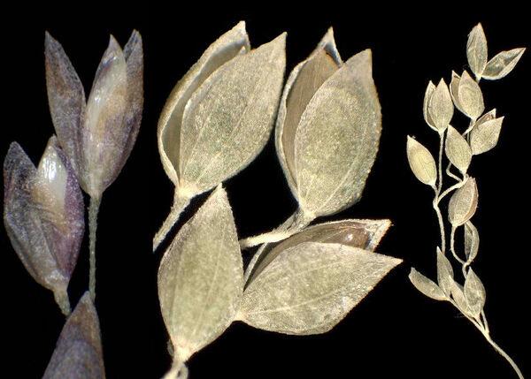 Milium effusum L. subsp. effusum