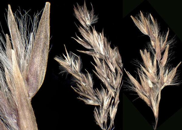 Calamagrostis canescens (Weber) Roth subsp. canescens