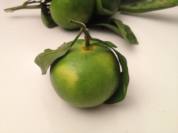 Citrus 'Miyakawa'
