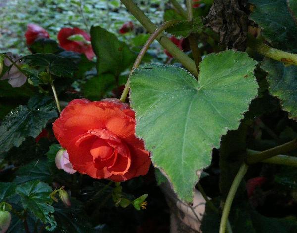 Begonia x tuberhybrida Voss 'Superba Rood'
