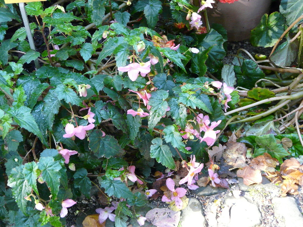 Begonia multiflora Beath 'Le Madelon'