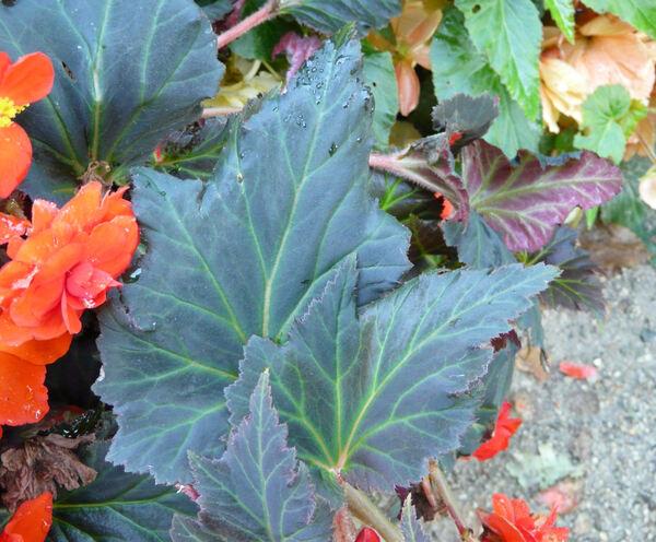 Begonia x tuberhybrida Voss
