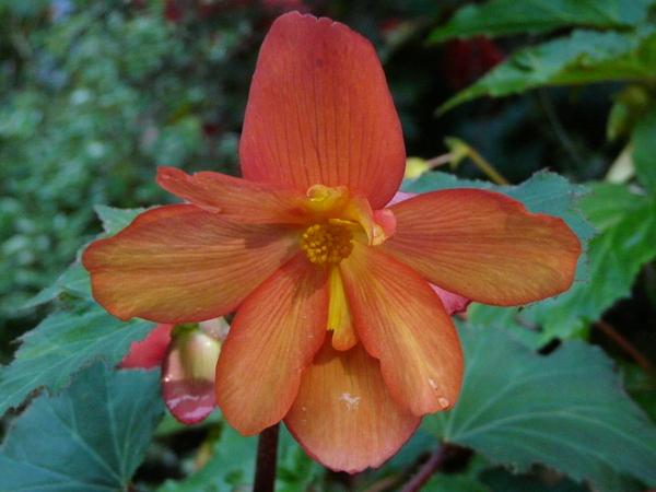 Begonia x tuberhybrida Voss 'Golden Balcony'