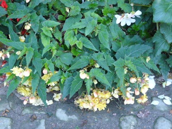 Begonia x tuberhybrida Voss 'Illumination Apricot'