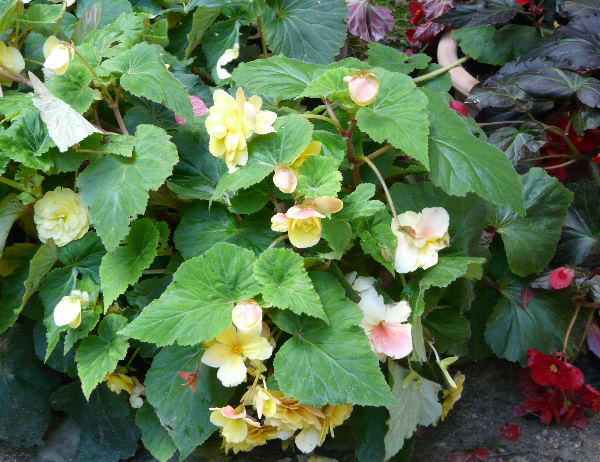 Begonia x tuberhybrida Voss 'Superba Geel'