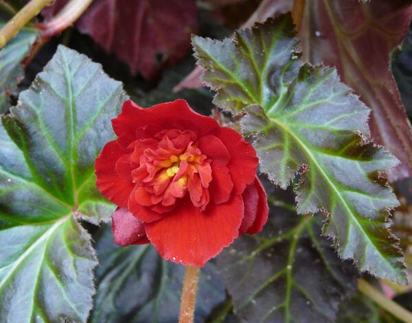 Begonia fusca Liebm. 'Switzerland'