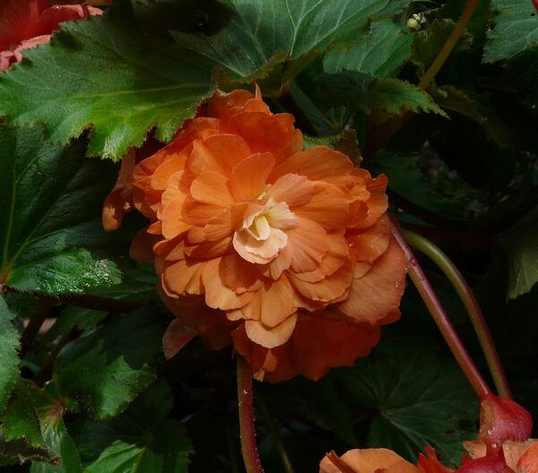 Begonia x tuberhybrida Voss 'Superba Oranjezalm'