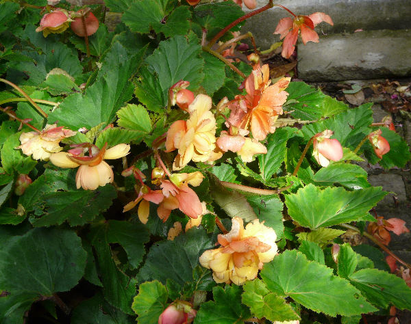 Begonia x tuberhybrida Voss 'Splendide Geeloranje'