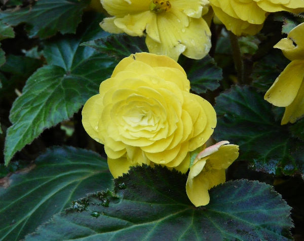 Begonia x tuberhybrida Voss 'Nonstop Yellow'
