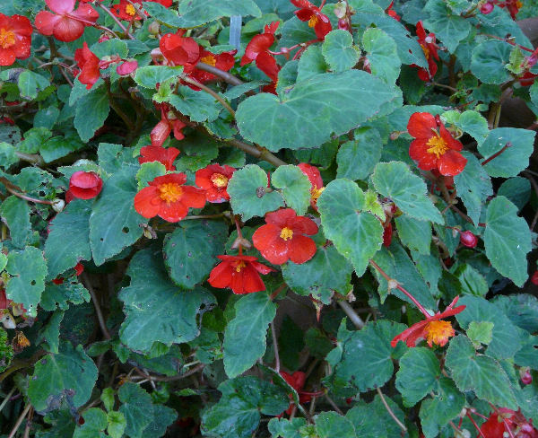 Begonia multiflora Beath 'Le Flambayant'