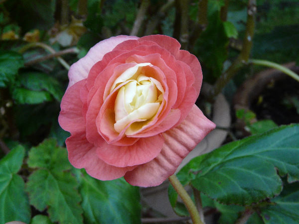Begonia x tuberhybrida Voss 'Ballerina'