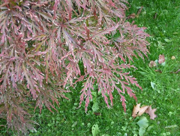 Acer palmatum Thunb. subsp. matsumurae Koidz. 'Crimson Queen'