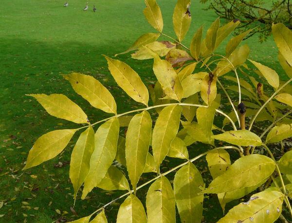 Fraxinus excelsior L. 'Jaspidea'